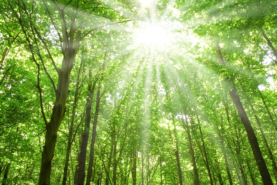 bigstock-Sunlight-In-Trees-Of-Forest-4949457